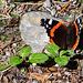Admiral (Vanessa atalanta) Schmetterling?