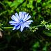Kornblume (Centaurea cyanus)?