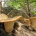 Riesenpilze im Wald unterhalb der Simmenflue