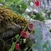 """Klitzkleine, schöne rote """"Blätter"""". Die Schoten des Ackerhellerkrautes?<br /><br />Belle """"foglie"""" piccine. I baccelli del Thlaspi arvense?"""
