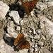 Schmetterlinge beim Trinken - praktisch so ein eingebauter Strohhalm-Rüssel