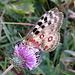 Ein ungewöhnlicher Schmetterling...leider unscharf