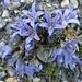 immer noch schöne Flora auf der Moräne... Mont Cenis-Glockenblume (Campanula cenisia)