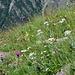 bunte Blumenvielfalt mit reichlich Edelweiss