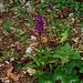 orchidee? auf dem walmattgrat