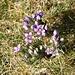 <b>Il fiore dominante del Motto Crostel in questo periodo: la Genzianella germanica (Gentiana germanica).</b>