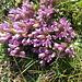 Gentiana germanica. Gentianaceae.  Genziana germanica. Gentiane d'Allemagne. Deutscher Enzian.