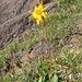 Arnica montana. Asteraceae.<br /><br />Arnica montana.<br />Arnica des montagnes.<br />Arnika.