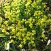 Saxifraga aizoides. Saxifragaceae.  Sassifraga cigliata. Saxifrage des ruisseaux. Bach-Steinbrech.