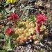 Sempervivum aracnoideum. Crassulaceae.  Semprevivo ragnateloso. Joubarbe aranéeuse. Spinnweb-Hauswurz.