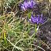 Phyteuma hemisfericum. Campanulaceae.  Raponzolo alpino. Raiponce hémisférique. Halbkugelige Rapunzel.