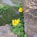 Doronicum grandiflorum. Asteraceae.<br /><br />Doronico dei macereti.<br />Doronic à grandes fleurs.<br />Grosskoepfige Gämswurz.