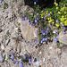 Campanula cochlearifolia. Campanulaceae.  Campanula dei ghiaioni. Campanule naine. Niediche Glockenblume.