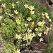 Saxifraga bryoides. Saxifragaceae.  Sassifraga brioide. Saxifrage mousse. Moosartiger Steinbrech.