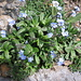 Myosotis alpestris. Boraginaceae.  Nontiscordardime alpino. Myosotis alpestre. Alpen-Vergissmeinnicht.