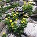 Doronicum grandiflorum. Asteraceae. Doronico dei macereti. Doronic à grandes fleurs. Grosskoepfige Gämswurz.