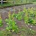 Nun haben wir endlich die Gärtnerei gefunden, wo Edelweiss und Gelber Enzian gezüchtet werden!