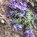 Linaria alpina. Plantaginaceae.  Linaria alpina. Linaire des Alpes. Alpen-Leinkraut.