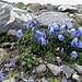 Glockenblumen, dezent bereichert von Augentrost und Alpen-Leinkraut