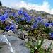 weiss-blau-weiss (Augentrost - Glockenblumen - Blüemlisalpfirn): unsere morgen dominierende (Weg)-Farbe