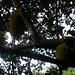 Jackfruit (Artocarpus heterophyllus)
