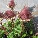 jedes Mal wieder faszinierend, diese kunstvoll gedrehten, verblühten, einen Schopf bildenden Blumen