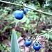 Wunderschoen - aber giftig. Anscheinend wurden diese Beeren frueher gebraucht um eine spontane Abtreibung zu erwirken. Fuer Mann ungefahrlich. weiss jemand wie die heissen?