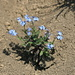 "Forget-me-not in the ""desert"""