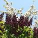 Dark lilacs in full bloom