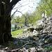 Mächtiger Kastanienbaum bei Pianezz