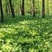 Grüne Idylle - Bärlauchwald.