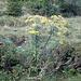 <b>Il fiore dominante all'Alpe di Giumello in questo periodo: la Verga d'oro (Solidago virgaurea).</b>