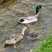 Entenpaar im Bach unterhalb der Säge