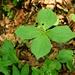 In den Hängen des Bannholzgrabens wuchern giftige Aronstäbe und Einbeeren in grosser Zahl.
