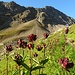ein riesiges Feld der intensiv roten Enziane - vor dem Wichelhorn