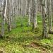 Bärlauchgrün im Silberwald.