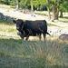 Tolle Kühe bei Gspon