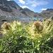 Gran Lago; Cirsio spinoso (Cirsium spinosissimum)