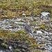 Alljährlich auf dem Cassonsgrat anzutreffen, ansonsten aber eine Seltenheit in der Schweiz, die Fotografen in den Bann zieht: der Mornellregenpfeifer