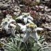 Blühende Edelweiss auf dem Piz Cam II