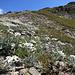 Edelweiss, so weit das Auge reicht: Auf der kalkigen Südabdachung des Val da Cam spriessen sie wie andernorts Gänseblümchen!