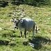 trächtige Kuh