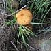<b>Funghi nel lariceto.<br />Boletinus cavipens: è considerato un mediocre commestibile. In letteratura vengono segnalati casi di intolleranza individuale.</b>
