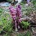 Die interessante Schmarotzerpflanze Gewöhnlicher Schuppenwurz (Lathraea squamaria). <br /><br />Für mehr Infos siehe Link von jobi (Danke für den schnellen Tipp).
