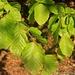 Rotbuche (Fagus sylvatica).
