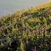 Blühende Wiesen über Schwyz