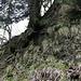 Unter dem Baum hindurch ist dieser Sporn an guten Wurzeln zu ersteigen. Die Erdauflage ist eher kümmerlich, die Nagelfluh lugt hervor.