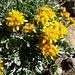 Wieder etwas für Botaniker - hier in frischem Gelb