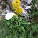 Solidago virgaurea subsp. minuta. Asteraceae.<br /><br />Verga d'oro delle Alpi.<br />Petite solidage.<br />Alpen-Goldrute.