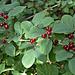 Am Wegrand Beeren der Roten Heckenkirsche (Lonicera xylosteum)